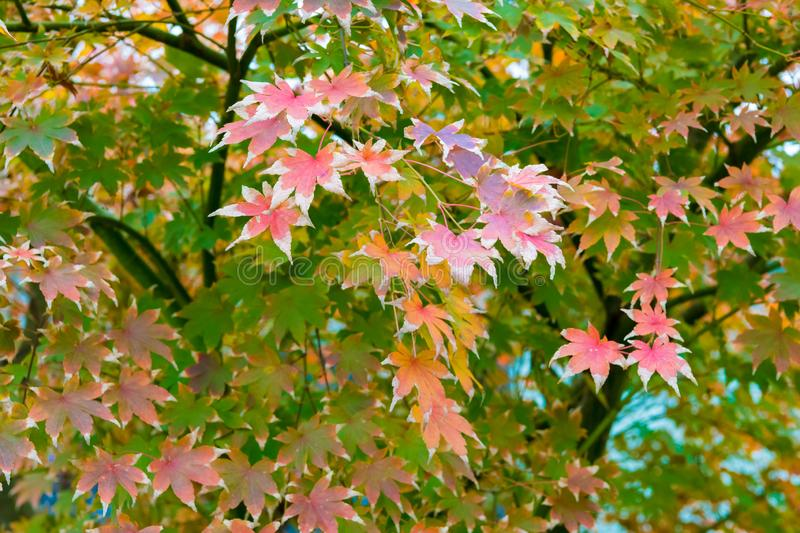 Maple tree with red leaves in autumn stock image