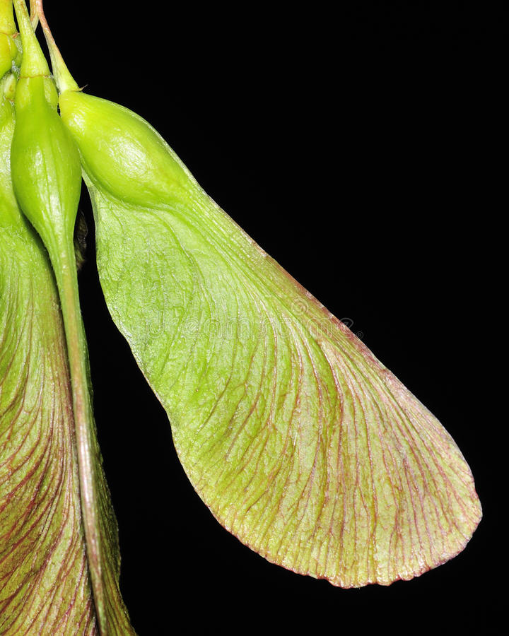 Maple Tree Seeds Royalty Free Stock Photography