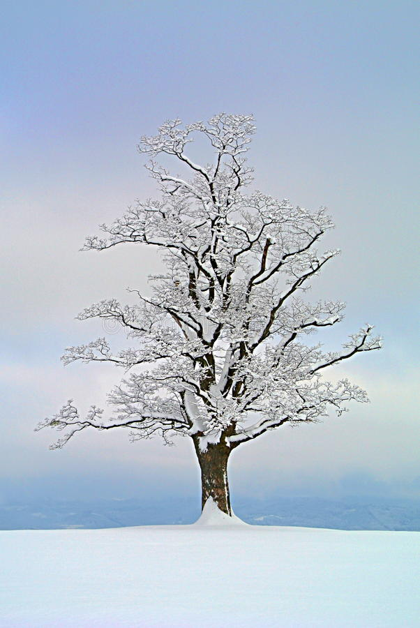 Maple tree solitaire stock images
