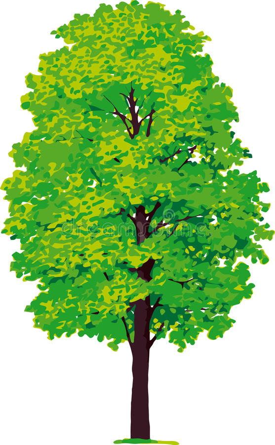 Maple tree. Vector royalty free illustration