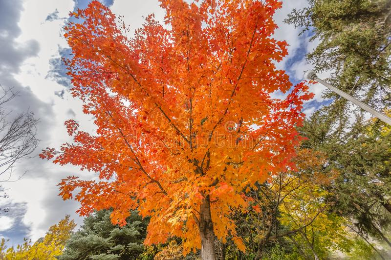 Maple tree with vibrant leaves against cloudy sky royalty free stock images