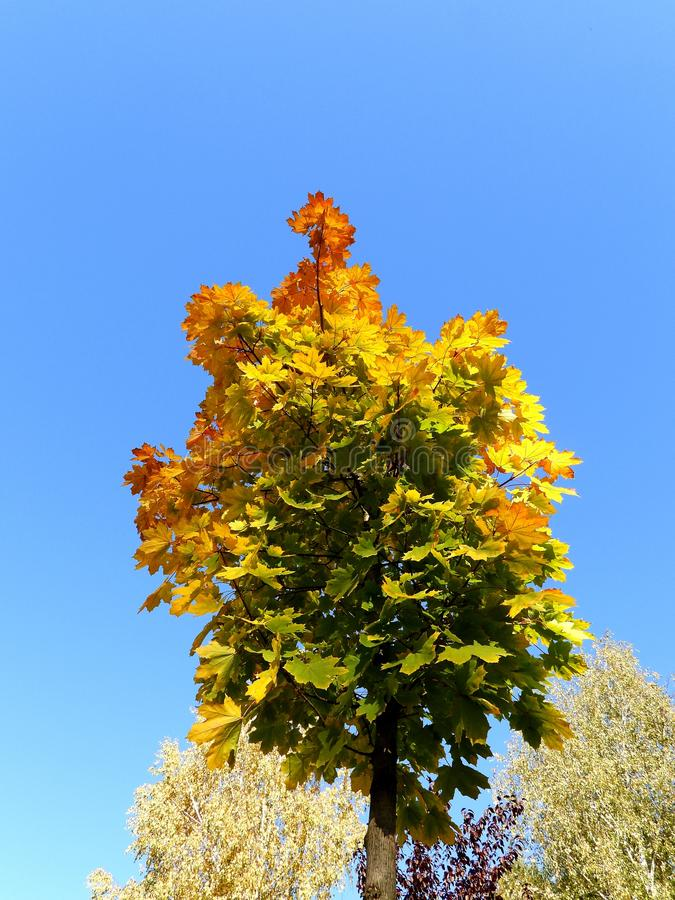 Maple tree wears autumn coat. Just few nice pictures with my new Nikon Coolpix P1000 in one beautiful autumn day royalty free stock photos