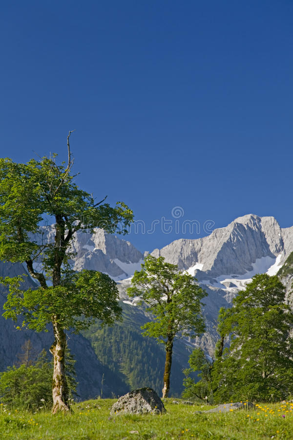 Download Maple trees stock photo. Image of cloudless, summer, austria - 15287062