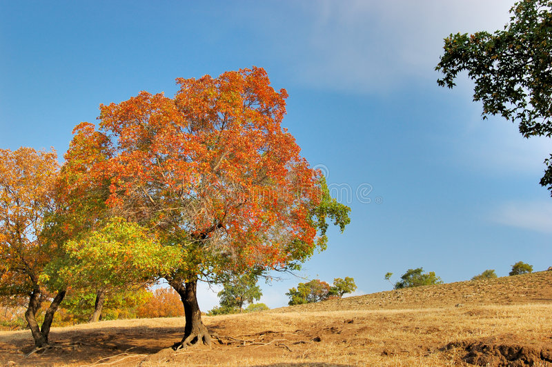 Download Maple Trees stock image. Image of mongolia, colorful, grassland - 3818477