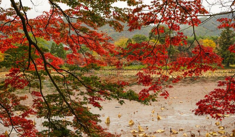 Lake scenery at autumn in Kyoto, Japan. Maple trees at autumn in the botanic garden royalty free stock photos