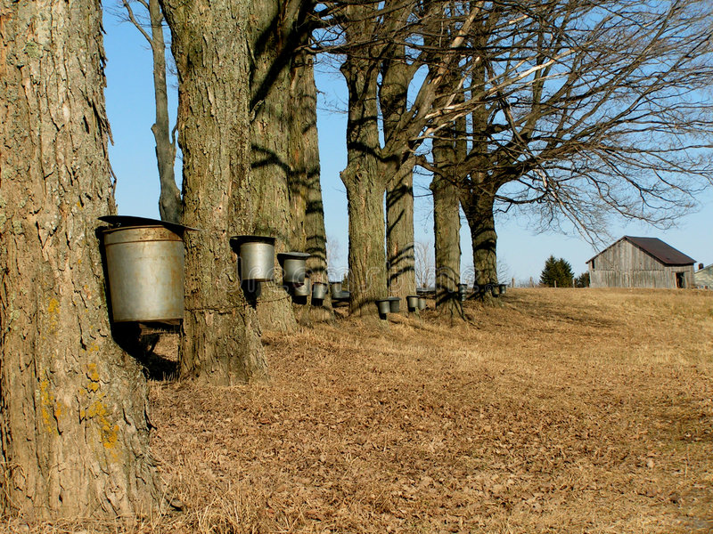 Maple trees with buckets stock photo