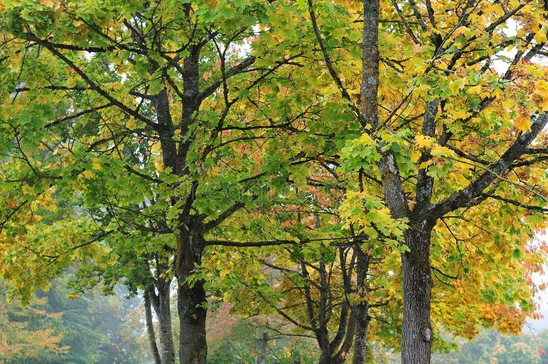 Maple trees at misty autumn morning stock photo