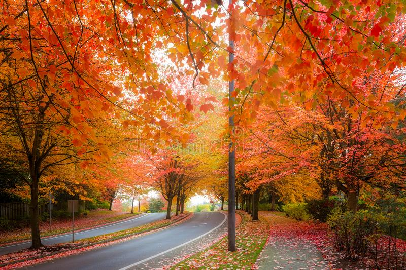 Maple Trees Foliage Lined Street during Fall Season. Maple trees canopy lined curvy winding street with fall foliage during autumn season in Oregon royalty free stock photo