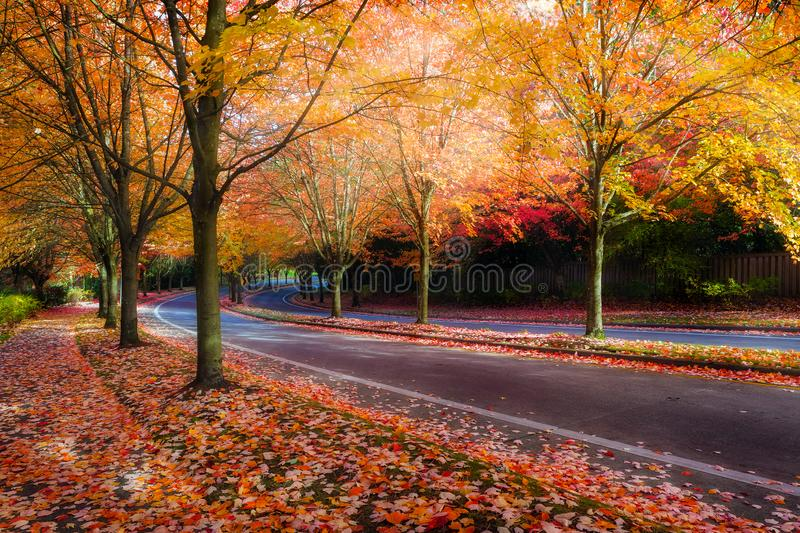 Maple Trees Lined Street during Fall Season. Maple trees lined curvy winding street with fall foliage during autumn season in Oregon royalty free stock photo