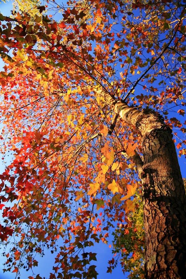 maple trees royalty free stock image