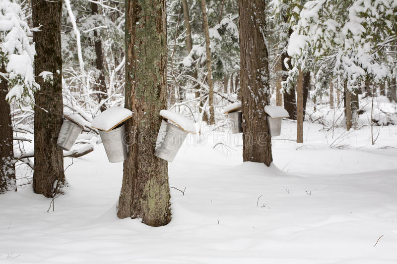 Maple Trees with Sap Pails. A forest scene of trees being tapped for sap with pails hanging off them royalty free stock photos