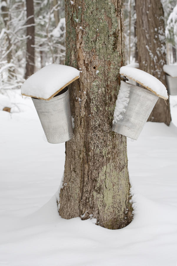 Maple Trees with Two Sap Pails. A forest scene of trees being tapped for sap with pails hanging off them stock images