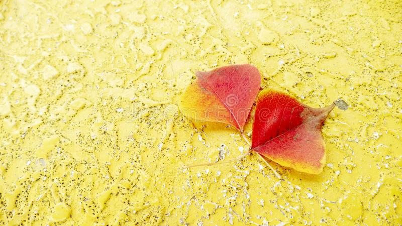 Maple varicolored autumn leaves on the wooden background stock images