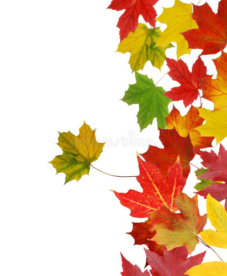 Mapple-Blätter stockfoto