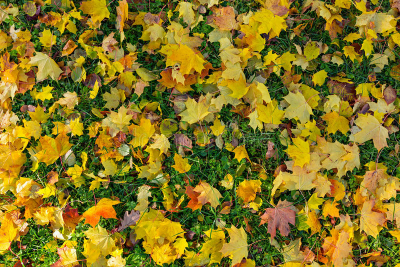 Mapple leaves in the beautiful autumn park stock photography