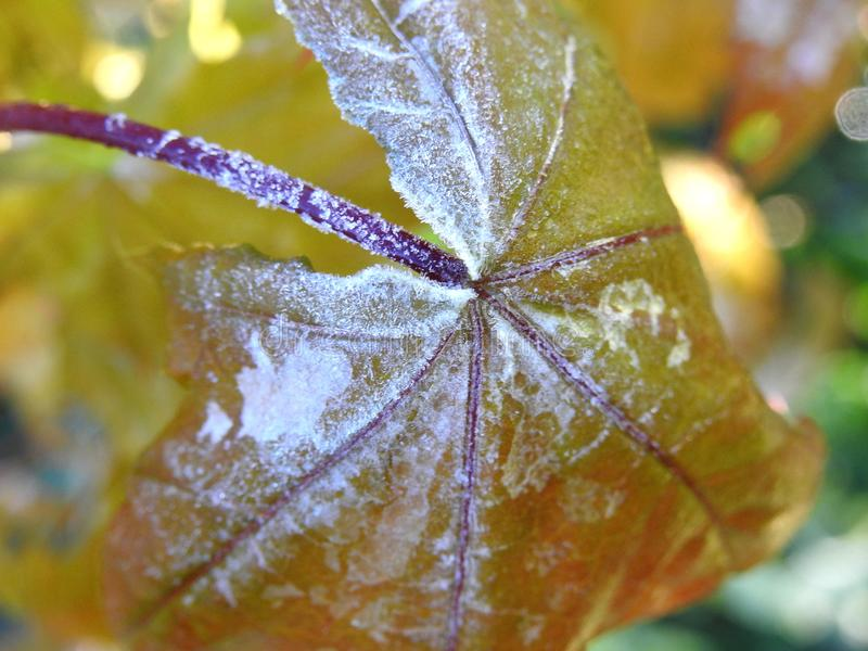 Mapple tree leaf  in frost, Lithuania stock images