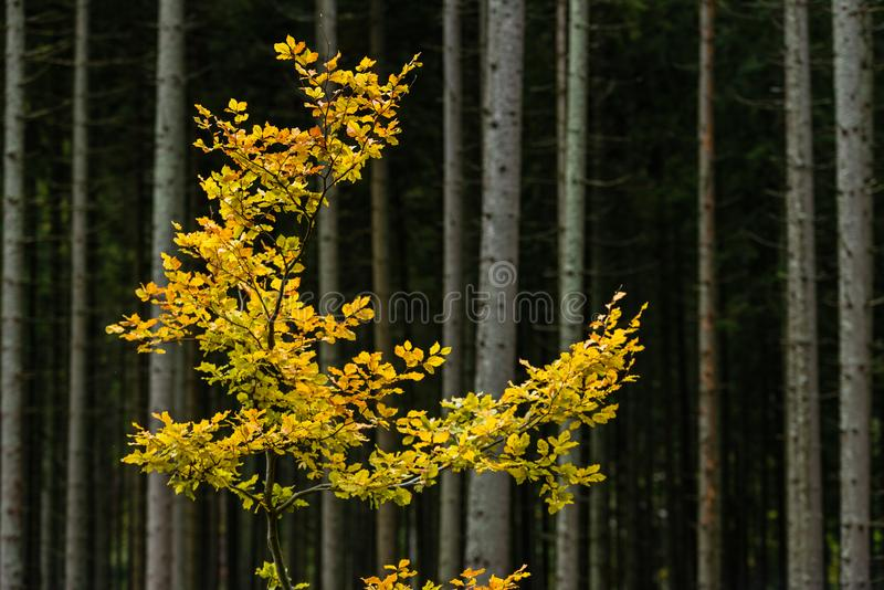 Mapple tree leaves in autumn against dark background stock photography
