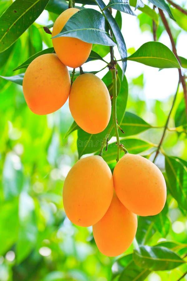 Maprang Marian Plum o Plum Mango immagine stock
