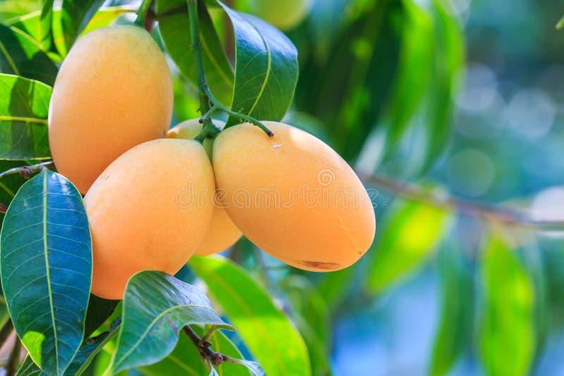 Maprang Marian Plum o Plum Mango immagine stock libera da diritti