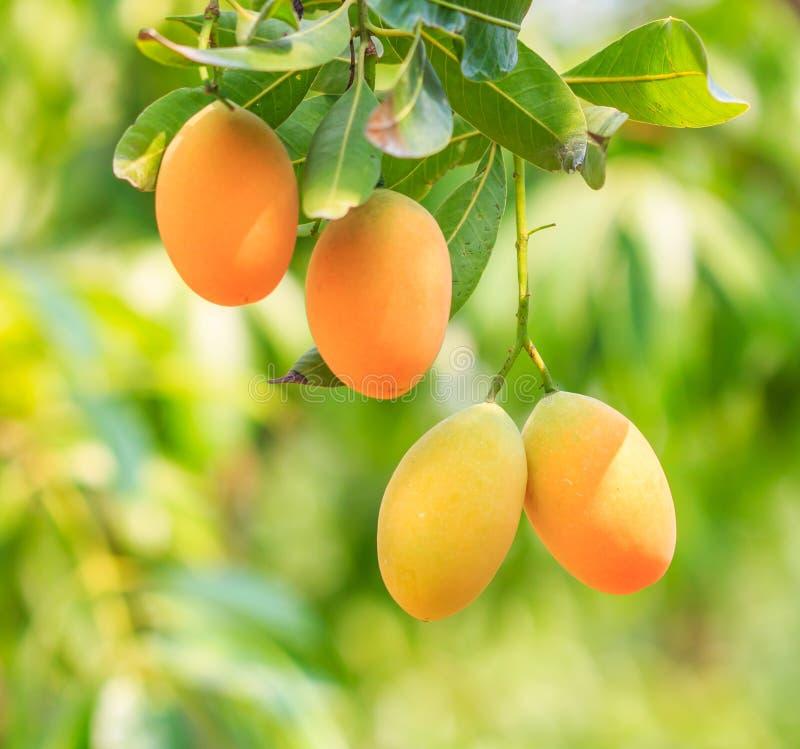 Maprang Marian Plum o Plum Mango fotografia stock libera da diritti