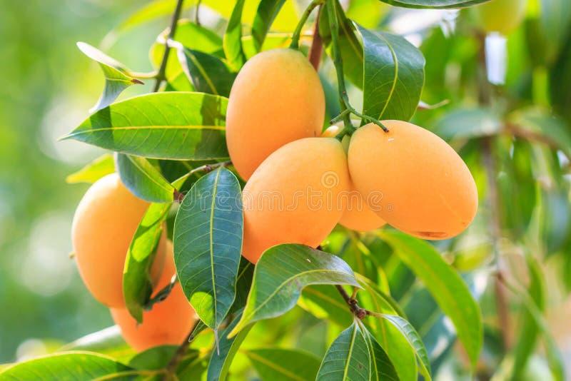 Maprang Marian Plum o Plum Mango fotografia stock