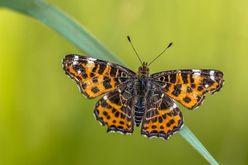 Mapy wiosny Motyli wylęg fotografia royalty free