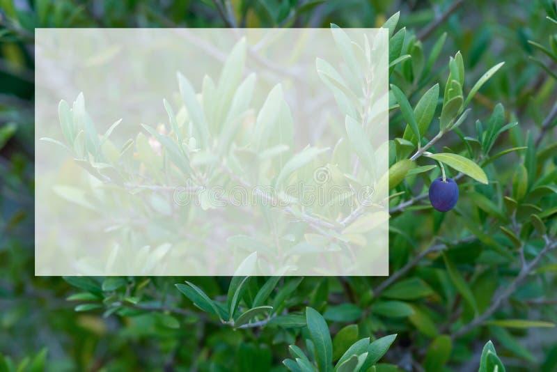 Maqueta transparente para el contenido Copie el espacio Imagen entonada Profundidad del campo baja Una rama de olivo con las acei imagen de archivo
