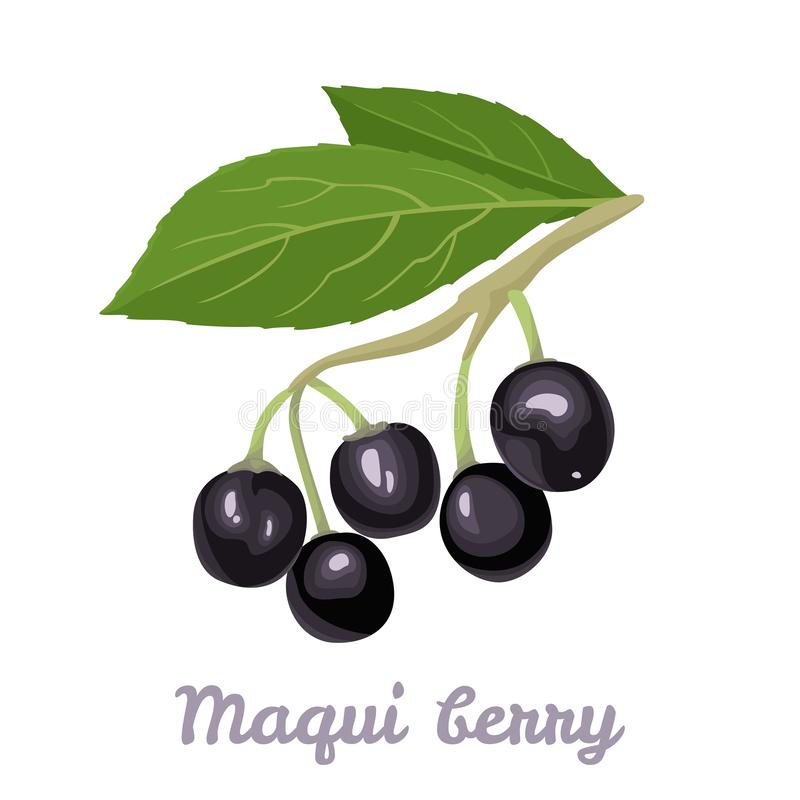 Free Maqui Berry Isolated On White Background. Branch Of Fresh Healthy Berries And Green Leaves. Vector Illustration Of Superfood Stock Images - 159266224