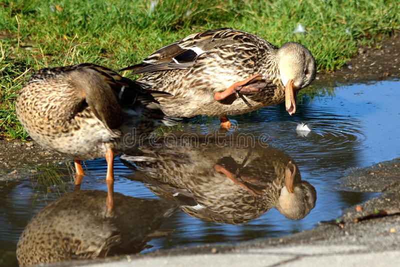 Maquillage de canards photographie stock