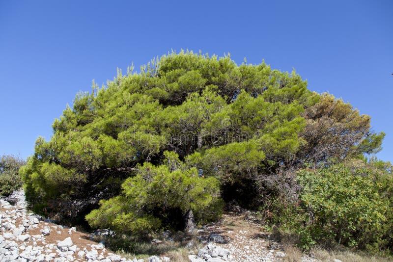 Maquis et herbes méditerranéens sur des îles de Kornati image libre de droits