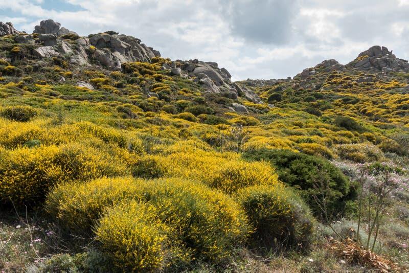 Maquis méditerranéen fleurissant en Sardaigne images libres de droits