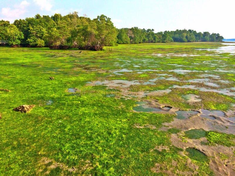 Marécages de Chek Jawa chez Pulau Ubin, Singapour photographie stock