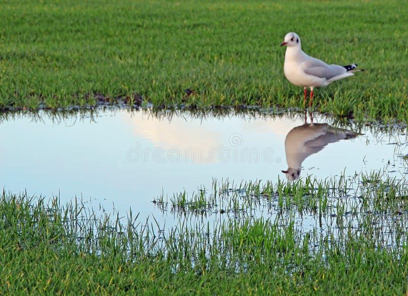 Marécages inondant et oiseau de mouette photo stock