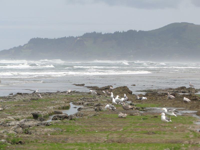 Marée inférieure, regroupements de marée, mouettes photos libres de droits