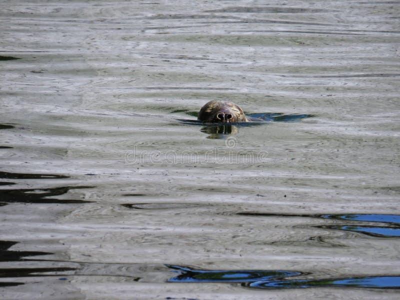 Mar aislado Lion Head del sello en superficie del agua imagenes de archivo