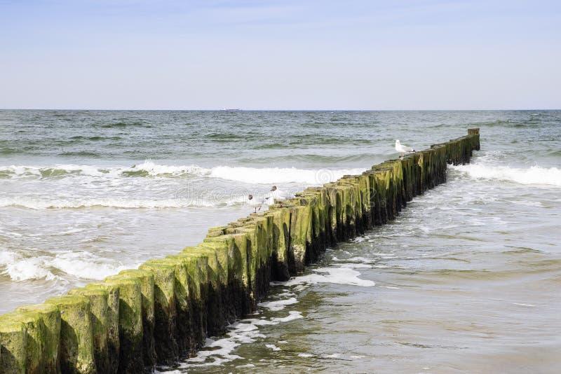Mar Baltico del gabbiano del frangiflutti fotografie stock libere da diritti