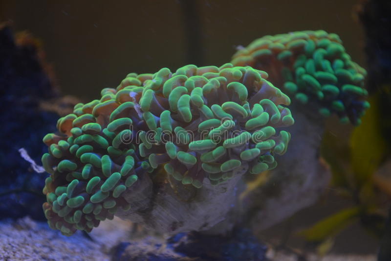 Mar Coral Ephylia foto de archivo