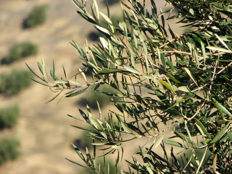 Mar das azeitonas em Andalucia 3 imagens de stock