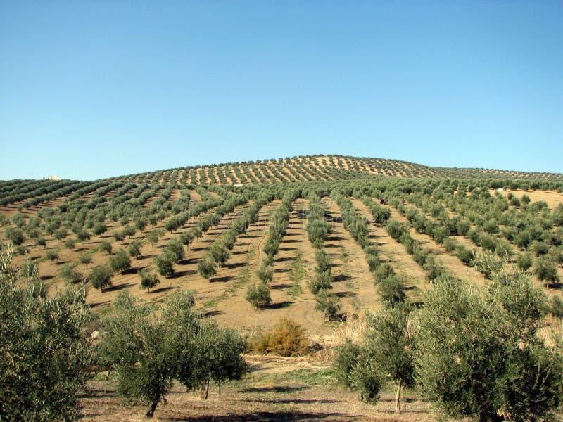 Mar das azeitonas em Andalucia imagens de stock