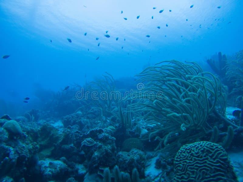 Mar das caraíbas da vida coral subaquático imagem de stock