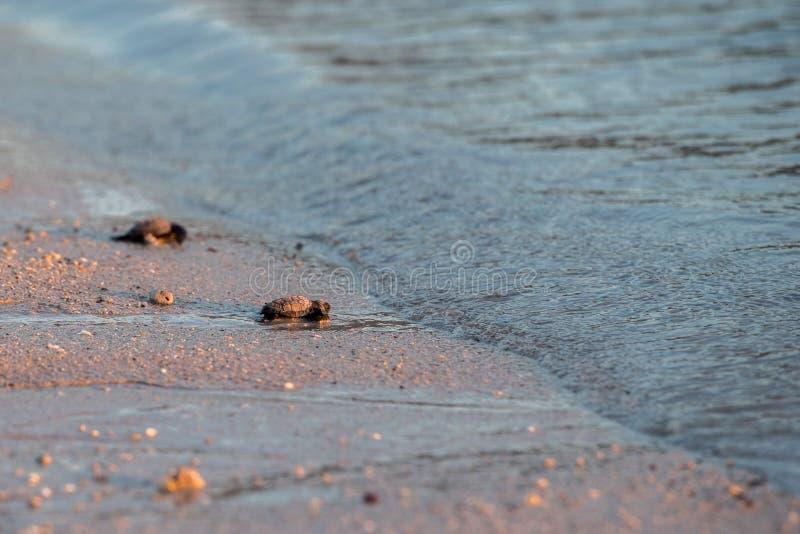 Mar de aproximação da tartaruga recém-nascida do golfina do verde do bebê imagem de stock royalty free