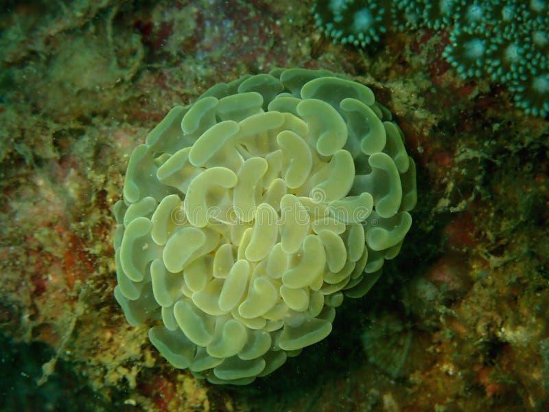 Mar de Coral Anemone del martillo en Tunku Abdul Rahman Park, Kota Kinabalu Sabah, Malasia borneo fotos de archivo