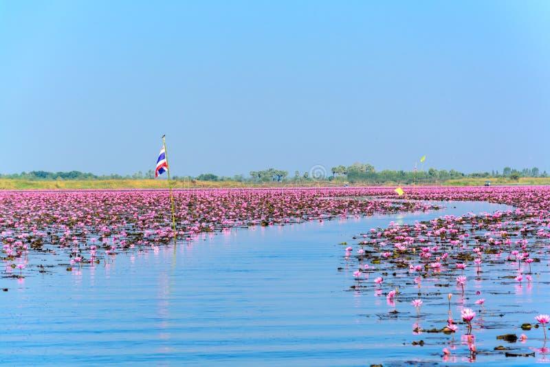 Mar de lótus cor-de-rosa em Udon Thani, Tailândia fotos de stock royalty free