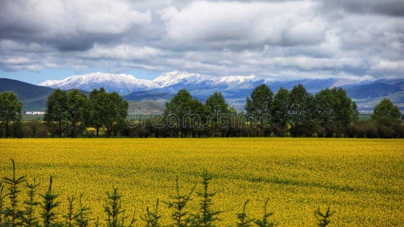 Mar de las flores de Menyuan con la montaña de la nieve en la provincia de Qinghai de China foto de archivo libre de regalías