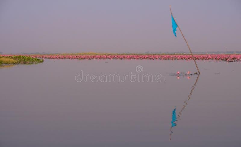 Mar de lotos rojos en Tailandia fotos de archivo