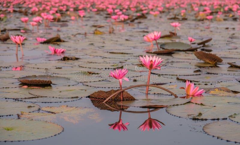 Mar de lotos rojos en Tailandia fotografía de archivo libre de regalías