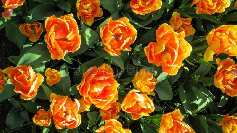 Mar de tulipanes anaranjados fotografía de archivo