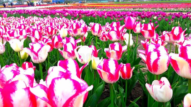 Mar de tulipanes imagen de archivo libre de regalías