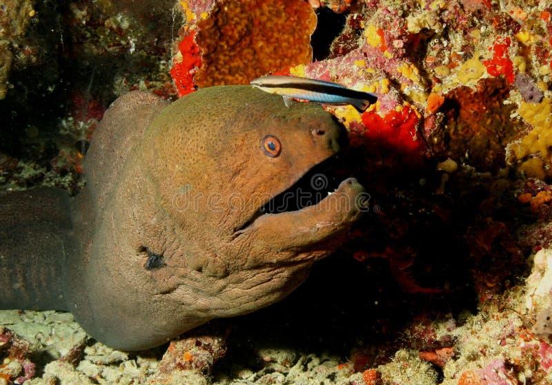 Mar del Caribe de la vida del safari subacuático coralino del salto imagen de archivo