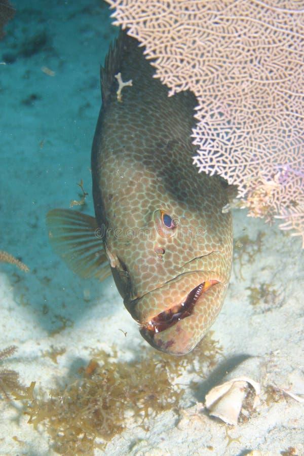 Mar del Caribe de la vida del safari subacuático coralino del salto foto de archivo libre de regalías